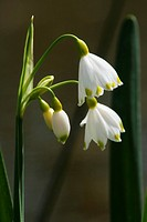Bl&#252;hpflanzen, flowering plant, flora, Leucojum aestivum, Sommer_Knotenblume, flower, bloom