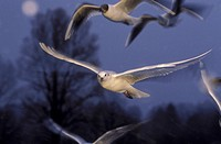 full moon, aves, full, fly, bird, Jan, animals