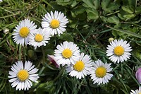 gaenseblumen, bellis, spring, flower meadow, flower, yellow, asteraceae