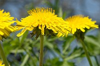 wiesen, berne, blooms, botany, burgdorf, dandelion