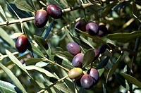 Olive, tree, mediterranean, green, sunny, natural, nature (thumbnail)