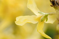 Flower, forsythia, flora, paint, atmosphere (thumbnail)