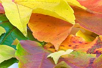colorful, autumn, colored, buss, autumn leaves, alexandra
