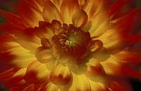 dahlia, bloom, close_up, CLOSE, blossom, day, abloom