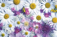 blooms, background, bloom, Bernhard, bellis, abloom