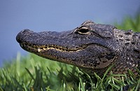 Alligatoren, animals, alligatoridae, alligator (thumbnail)