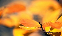 Gold, autumn, glowing, calf, branch, austria (thumbnail)