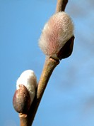 day, Austria, close_up, CLOSE, catkin, alfred