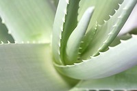germany, aloevera, fresh, cosmetic, beauty, green, aloe