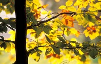 Calf, autumn, branches, branch, autumn-like, colorful, austria (thumbnail)