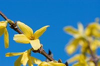blooms, forsythie, spring, yellow, goldgloeckchen, lightyellow, nature