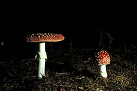 aichner, close_up, CLOSE, amanita, agaric