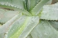 bright, cacti, cactus, CH, dewdrop, drip, fenkart