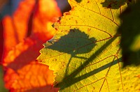 calf, autumn, back light, autumn_like, autumn leaf, colored, austria