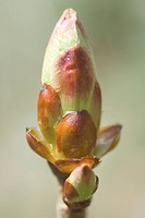 fruehlingserwachen, alfred, blooming, bud, buds, close_up