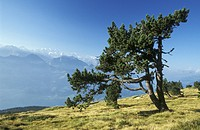 Blue, day, coniferae, conifer, aichner (thumbnail)