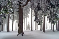 cold, conifer, conifers, day, dieter, forest