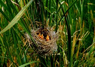 chick, scene, bird nest, grass, natue, baby bird, landscape