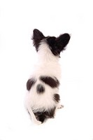 faithful, domestic animal, companion, canine, close up, papillon