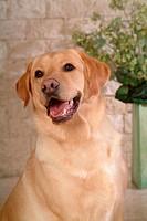 house pet, labrador, canines, domestic, retriever, labrador retriever