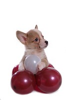 balloon, puppy, canines, domestic, corgi