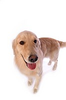 retriever, animal, golden retriever, petdog, dog, domestic animal, pet