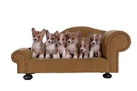 domestic, paw, puppy, canines, corgi