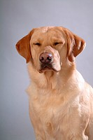 house pet, labrador, canines, domestic, retriever, labrador retriever