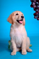 looking grape, animal, domestic animal, golden retriever, dog, close up, pet