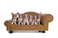 canines, animal, domestic, corgi, dog, puppy, pet