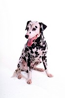 domestic, animal, dalmatian, dalmation, dog, canines, pet