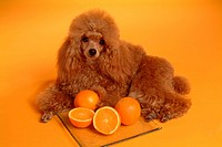 posed, domestic, pose, house pet, canines, poodle