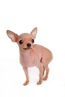 canines, animal, domestic, chihuahua, dog, loving, pet