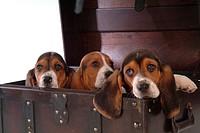 faithful, domestic animal, companion, canine, close up, basset hound