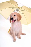 looking away, golden retriever, domestic animal, umbrella, retriever, close up, Golden Retriever