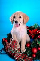 canine, domestic animal, closeup, close up, looking away, companion, golden retriever