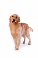 looking forward, animal, domestic animal, golden retriever, dog, close up, pet