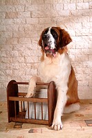 pose, st bernard, house pet, canines, domestic, saint bernard