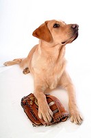 house pet, domestic, cute, loving, canines, labrador retriever