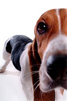 closeup, dog, close up, domestic animal, pet, canine, basset hound