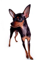 canine, standing, miniature pinscher, domestic dog, domestic animal