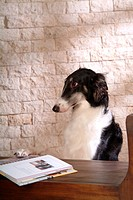 Canine, dog, close up, domestic animal, pet, companion, borzoi (thumbnail)