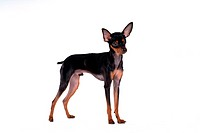 House pet, domestic, cute, loving, canines, companion, miniature pinscher (thumbnail)