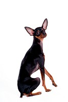 House pet, domestic, cute, loving, canines, miniature pinscher (thumbnail)