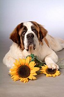 pose, st bernard, house pet, canines, domestic, saint bernard