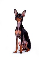 pose, domestic, companion, house pet, canines, posed, miniature pinscher