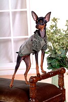 Pose, pinscher, house pet, canines, domestic, posed, miniature pinscher (thumbnail)