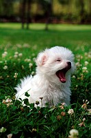 cute, domestic, loving, puppy, canines, maltese