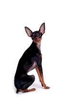 house pet, domestic, cute, loving, canines, miniature pinscher