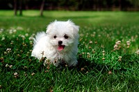 Cute, domestic, loving, puppy, canines, maltese (thumbnail)
